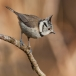 kuifmees-crested-tit-05