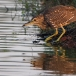 kwak-black-crowned-night-heron-03