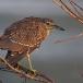 kwak-black-crowned-night-heron-05