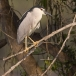 kwak-black-crowned-night-heron-09