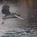 kwak-black-crowned-night-heron-11