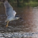 kwak-black-crowned-night-heron-12