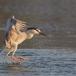 kwak-black-crowned-night-heron-13