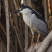 kwak-black-crowned-night-heron-15