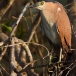 kwak-black-crowned-night-heron-18