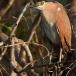 kwak-black-crowned-night-heron-18