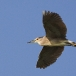kwak-black-crowned-night-heron-21
