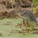 kwak-black-crowned-night-heron-22
