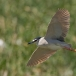 kwak-black-crowned-night-heron-24