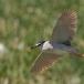 kwak-black-crowned-night-heron-24