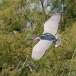 kwak-black-crowned-night-heron-25