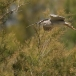 kwak-black-crowned-night-heron-26