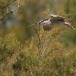 kwak-black-crowned-night-heron-26