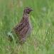kwartel-quail-02