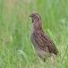 kwartel-quail-04