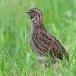 kwartel-quail-07