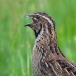 kwartel-quail-08