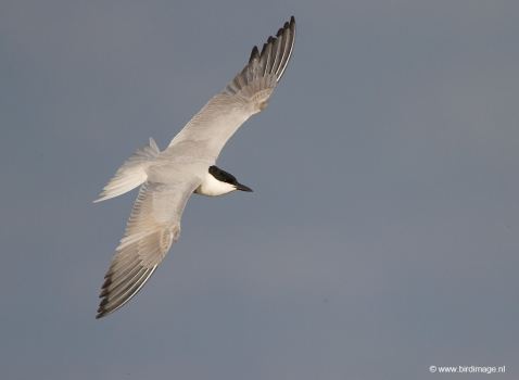 lachstern-gull-billed-tern-01