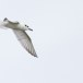 Lachstern- Gull-billed Tern 07