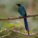 Langstaartglansspreeuw – Long-tailed Glossy Starling