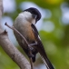 Langstaartklauwier – Long-tailed Shrike