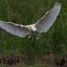 lepelaar-common-spoonbill-13