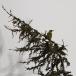 levaillants-groene-specht-levaillants-green-woodpecker-01
