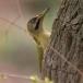 levaillants-groene-specht-levaillants-green-woodpecker-02