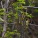 levaillants-groene-specht-levaillants-green-woodpecker-03