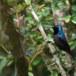 Lotens-honingzuiger-Lotens-sunbird-02