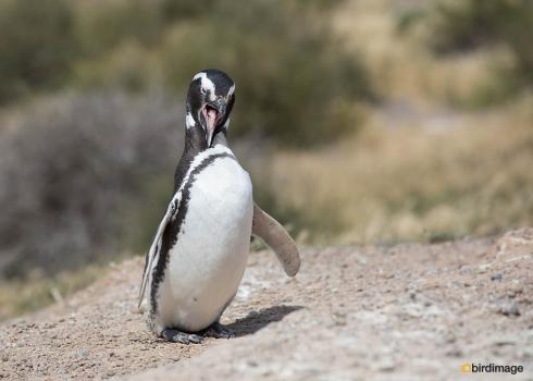 Magelhaenpinguin_Magellanic Penguin 01