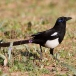maghreb-ekster-maghreb-magpie-01