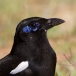 maghreb-ekster-maghreb-magpie-02