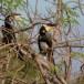 Malabarneushoornvogel-Malabar-pied-hornbill-01