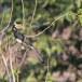 Malabarneushoornvogel-Malabar-pied-hornbill-02
