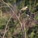 Malabarneushoornvogel-Malabar-pied-hornbill-03
