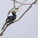 Malabarneushoornvogel-Malabar-pied-hornbill-05