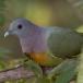 Maleise papegaaiduif – Pink-necked Green Pigeon
