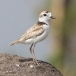 Maleise plevier – Malaysian Plover