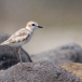 maleise-plevier-malaysian-plover-02