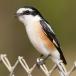 Maskerklauwier – Masked Shrike