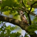 middelste-bonte-specht-middle-spotted-woodpecker-01