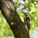 middelste-bonte-specht-middle-spotted-woodpecker-02
