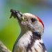 middelste-bonte-specht-middle-spotted-woodpecker-05