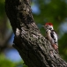 middelste-bonte-specht-middle-spotted-woodpecker-06