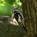 middelste-bonte-specht-middle-spotted-woodpecker-07