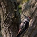 middelste-bonte-specht-middle-spotted-woodpecker-08