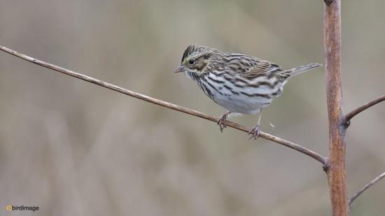 Moerasgors - Swamp sparrow 001