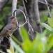 Moltonis-baardgrasmus-Moltonis-warbler-10