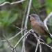 Moltonis-baardgrasmus-Moltonis-warbler-12